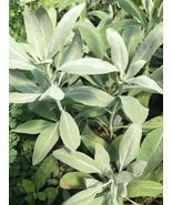 Organic No Pesticides Sacred White Sage 50 Seeds Make Smudge Stick Salvi... - $7.99