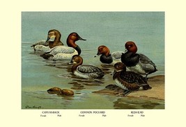 Canvas-Back, Common Pochard and Red-Head Ducks by Allan Brooks - Art Print - $19.99+