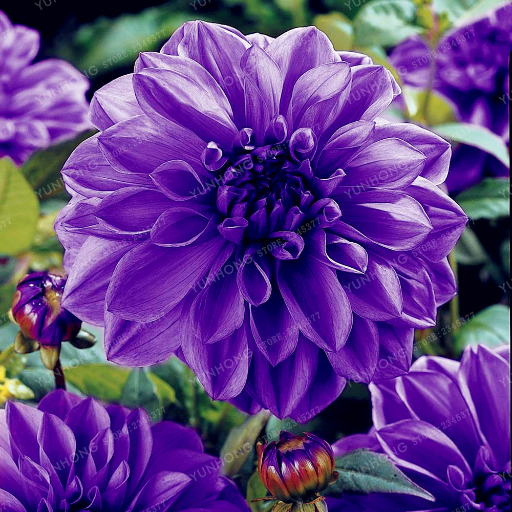 Yu color 10 dahlia bulbs beautiful perennial and similar items yu color 10 dahlia bulbs beautiful perennial dahlia flower bulbs 1pc izmirmasajfo