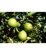 Key Lime Citrus Tree Live Grafted Fruit Plant  3 gallon 3 feet tall or t... - $59.98