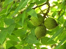 Black Walnut tree quart pot image 1