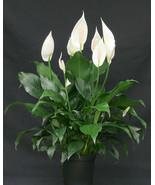 Spath Peace Lily - Spathiphyllum wallisii Live Plant Premium Foliage Fit... - $15.83