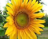 100 Black Oil Sunflower Seeds, Great Bird Food