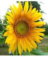 100 Black Oil Sunflower Seeds, Great Bird Food - £3.82 GBP
