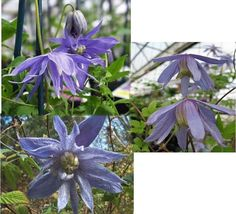 Outdoor Living – Garden - Clematis Macropetala 20 Seeds - tgi - $49.95