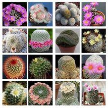 10 Mammillaria mix seeds *Easy grow * Care free * Cactus,succulent - $8.50