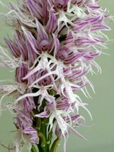 """ORCHIS ITALICA """"NAKED MAN"""" EUROPEAN TERRESTRIAL ORCHID TUBER - $33.00"""