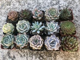 """Assorted Rooted Premium Rosette Succulents in 2"""" Planter Pots with Soil (Pack image 3"""