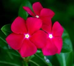 30 Seeds Vinca Flower-Pink Flower Seeds Periwinkle Seeds Sadabahar flower seeds - $3.99