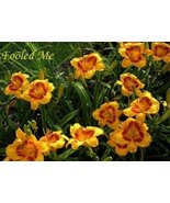 3 Daylily, Fooled Me 2 year division Perennial - $22.76