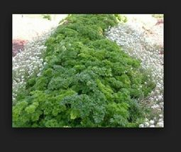 SHIP FROM US 200 Seeds Parsley, Forest Green Heirloom,DIY Herb Seeds SR - $14.99