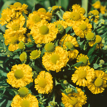 20pcs/lot yellow Helenium, Sneezeweed seeds Easy to grow, Bonsai potted plant DI - $7.28