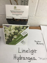 LIMELIGHT Hydrangea shrub PP#12874 image 5