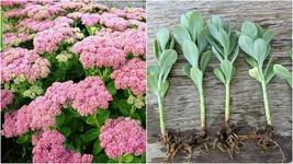 10 Plants AUTUMN JOY STONECROP SEDUM - NICE PINK - Perennial - $57.99