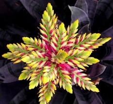 "STR Garden - 100 pcs Cactus BROMELIACEAE Succulent Neoregelia ""STRIKING""... - $2.70"