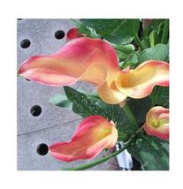 HAPPY FLOWER 2 Bulbs True ORANGE Calla Lily Flower Zantedeschia Love Symbol - $2.49