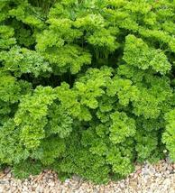 SHIP FROM US 33,000 Parsley Triple Moss Curled Seeds, ZG09 - $33.16