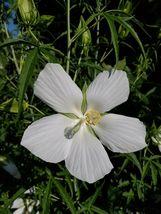 20 WHITE Texas Star Hibiscus Seeds - $14.88