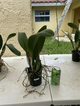 Rhyncattleanthe Blc Chonburi Red CATTLEYA Orchid Plant Pot BS 0509 D image 2