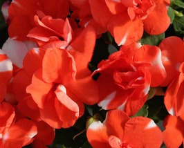 20pcs Graceful Orange Flash Garden Balsam Flower Seeds  - $13.99