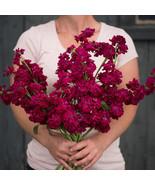 Katz Ruby Stock Seed,Stock Flower Seeds - $21.00