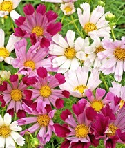 """300+COSMOS """"SEA SHELLS MIX"""" Seeds Wildflower Butterflies Bees Drought Po... - $2.50"""