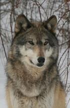 Tundra Wolf 13 x 19 Unmatted Photograph - $35.00