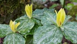 Yellow Trillium 5 bulbs (T. luteum) wildflower image 1