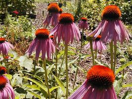 coneflower, PURPLE flower, echinacea, 75 seeds! - $9.99