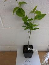 "White Flowering Dogwood 4"" pot (cornus-florida) image 2"