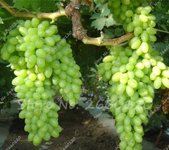20 Seeds Rare Green Finger Grape Seeds Fruit Tree Seeds Natural Growth G... - $7.71