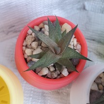Haworthia Tessellata Succulent in Planter, Colorful Self-Watering Pot image 5
