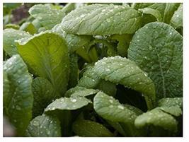 Sow No GMO Mustard Florida Broadleaf Non GMO Heirloom Vegetable 100 Seeds - $2.94