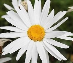 500pcs Fresh Seeds Very Pretty Shasta Daisy Silver Princess #TLM1 - $29.99