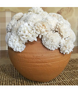 Terracotta Pot with Cream Sola Flowers - $57.42
