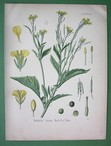 INDIAN MUSTARD Sinapis Juncea Medicinal Flower - Botanical COLOR Litho P... - $17.55