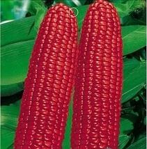Best Price 100 Seeds Red Waxy Corn,Diy Decorative Plant BB044 Dg - $30.00