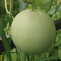 Melon Seeds - Honeydew - Green Flesh- Gardening - Outdoor Living - FREE SHIPPING - $28.99+