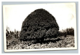 Vintage 1940's RPPC Postcard Huge Myrtle Tree & Home Oregon Coast Highwa... - $25.71