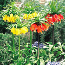 10 pcs/bag Crown Imperial Seeds 9 colors Fritillaria Imperialis Seeds - $4.76