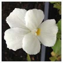 50 Viola (White Perfection) Seeds - $7.99