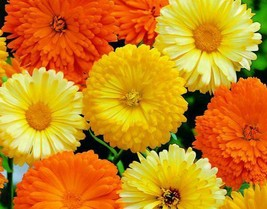 1 OZ=4500+CALENDULA FIESTA GITANA Mix Seeds Ornamental Culinary Garden/C... - $8.00