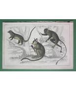 QUADRUPEDS Galago Tarsier Tenrec Animals - Color H/C Antique Print - $8.55