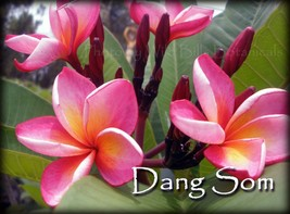 Dang Som Thailand Plumeria frangipani tip cutting Rare Exotic Fragrant - $16.95