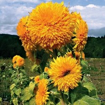 SHIP From US Sunflower Giant Sungold Seeds (Helianthus Annuus) 30+ Seeds UTS2 - $24.99