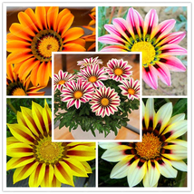 100 Pcs Gorgeous Gazania Rigens Bonsai Rare Flower Bonsai Plant Popular ... - $4.73