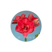 HAPPY FLOWER 2 Bulbs RAMPAL CELAK True Hippeastrum Rutilum Amaryllis Lov... - $1.78