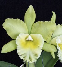 CATTLEYA  Blc. Prada Green Deluxe Orchid Plant Pot BLOOMING SIZE 0504 W - $34.20