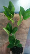 Live Tree Lemon Of Puerto Rico Adult Ready For Fruit - Outdoor Living - $170.99