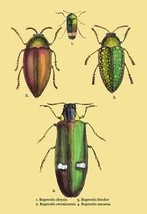 Beetles: Buprestis Chrysis B. Sternicornis, et al. #2 by Sir William Jardine - A - $19.99+